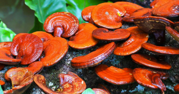 bio reishi defence ingredienti